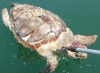 Un'altra Caretta Caretta trovata morta nel Mar Piccolo