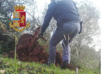 Furto di alberi: sorpresi dalla Polizia a sradicare ulivi